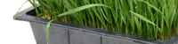 tray of wheatgrass