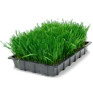 wheatgrass tray